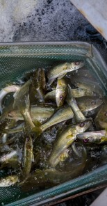 QLIA and Partners Stock Walleyes into Lost Land Lake